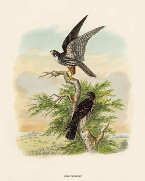 Fine Art Print of the European Hobby by O V Riesenthal (1876)
